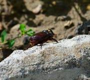 甲虫欧洲宏观犀牛射击 图库摄影