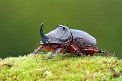 甲虫欧洲nasicornis oryctes 免版税库存照片