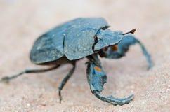 甲虫特写镜头 图库摄影