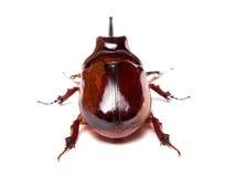 甲虫犀牛 免版税库存照片