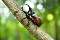 甲虫犀牛 免版税库存图片