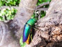 甲虫珠宝 免版税图库摄影