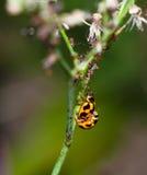 甲虫瓢虫 免版税图库摄影