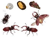 甲虫生活  免版税库存照片