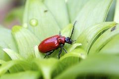 甲虫百合红色 免版税库存照片