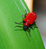 甲虫百合 免版税库存图片