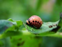 甲虫科罗拉多 库存图片