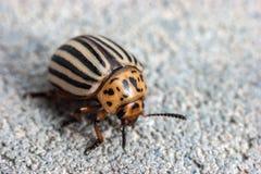 甲虫科罗拉多decemlineata leptinotarsa土豆 图库摄影