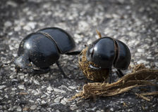 甲虫粪 库存照片