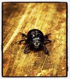 甲虫粪 图库摄影