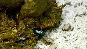 甲虫粪 影视素材