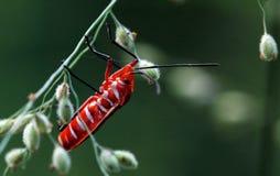 甲虫红色 免版税库存照片