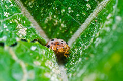 甲虫绿色叶子桔子 免版税库存照片