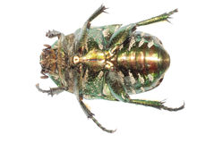 甲虫绿色昆虫 库存照片