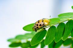 甲虫绿色本质桔子 免版税图库摄影