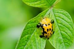 甲虫绿色本质桔子 库存照片