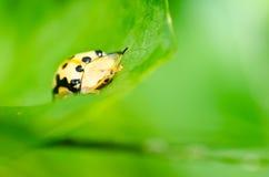 甲虫绿色本质桔子 免版税库存图片