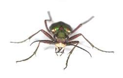 甲虫绿色老虎 库存图片