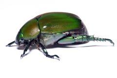 甲虫绿色 库存照片