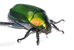 甲虫绿色 免版税库存图片