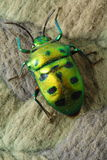 甲虫绿色 免版税库存照片