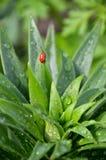 甲虫臭虫叶子百合红色 库存照片