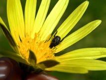 甲虫花黄色 库存图片