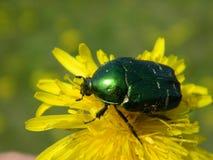 甲虫花 库存照片