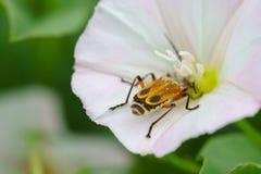 甲虫花 库存图片