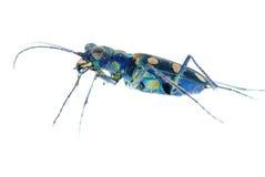 甲虫蓝色老虎 库存照片