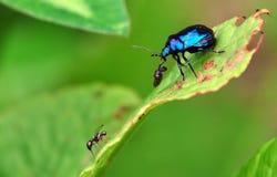 甲虫蓝色 库存图片