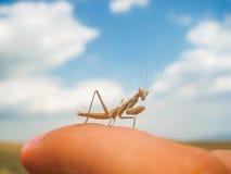 甲虫螳螂 库存照片