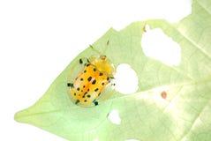 甲虫被察觉的草龟 库存照片