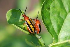 甲虫被排行的土豆三 库存照片