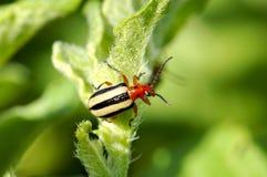 甲虫被排行的土豆三 库存图片