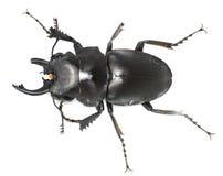 甲虫被残废的公雄鹿 免版税库存照片