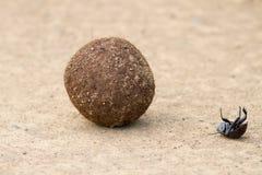 甲虫跌下粪球 免版税库存图片