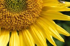 甲虫金黄向日葵 图库摄影