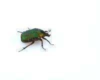 甲虫金龟子上升了 库存图片