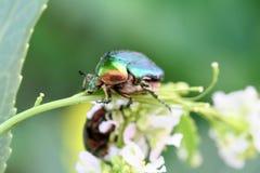 甲虫金龟子 库存图片