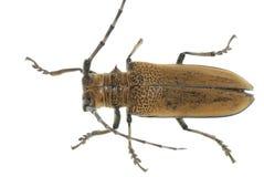 甲虫钻眼工人昆虫桑树 免版税库存图片