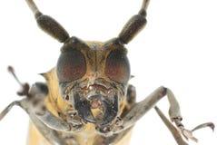 甲虫钻眼工人题头昆虫桑树 库存照片
