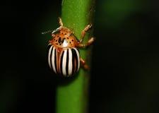 甲虫错误土豆 库存照片