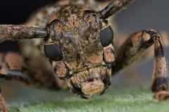 甲虫长角牛 图库摄影