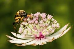 甲虫长角牛 免版税图库摄影