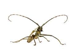 甲虫长角牛 免版税库存图片