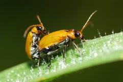 甲虫降露 免版税图库摄影