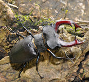 甲虫雄鹿 库存图片