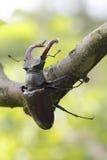 甲虫雄鹿 图库摄影