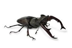 甲虫雄鹿 免版税库存照片